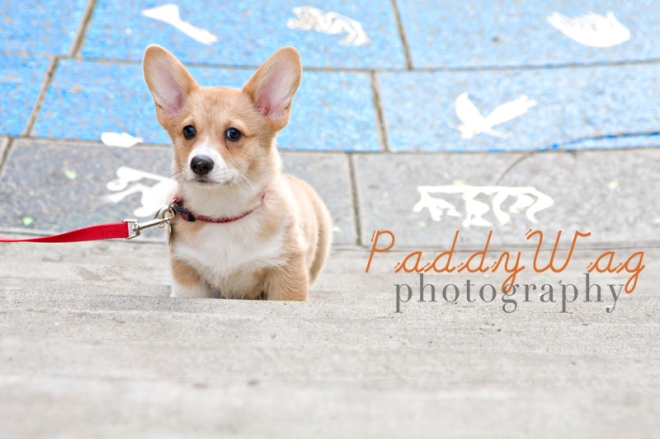 Peggy, a Corgi puppy in Seattle, photographed by Amanda Waltman of PaddyWag