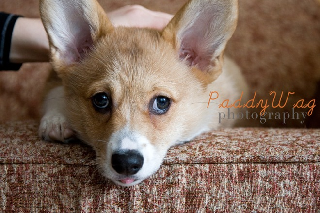 Peggy, a puppy in Seattle, photographed by Amanda Waltman of PaddyWag